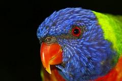 Rainbow Lorikeet (.davesmith.) Tags: rainbow lorikeet