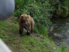 DSC07552 (jrucker94) Tags: alaska katmai katmainationalpark nationalpark bear bears grizzly grizzlybear brooksriver nature outdoors
