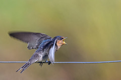 hungry wee welcome swallow #3 (Fat Burns ☮) Tags: welcomeswallow hirundoneoxena swallow bird australianbird australianswallow australianfauna fauna juvenilebied nikond500 sigma150600mmf563dgoshsmsports oxleycreekcommon brisbane queensland australia