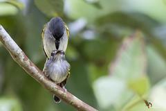 Slate-headed Tody-Flycatcher (fernaabs) Tags: slateheaded todyflycatcher poecilotriccus sylvia espatulilla cabecigrís r passeriformes fernaabs burgalin avesdecostarica tyrannidae aves flycatcher