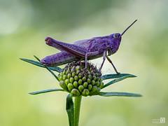 Colorines (JoseQ.) Tags: bicho animal insecto saltamontes macro macrofotografia campo tinto burdeos saltarin flor posadero morado