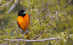 Baltimore Oriole [male]