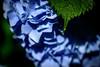 紫陽花 #8ーHydrangea #8 (kurumaebi) Tags: yamaguchi 秋穂 山口市 nikon d750 nature マクロ macro 花 紫陽花 アジサイ hydrangea flower