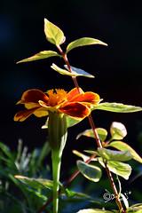 All'ombra di Te!!! (Biagio ( Ricordi )) Tags: fiore flower natura rosso giallo love amore macro italy
