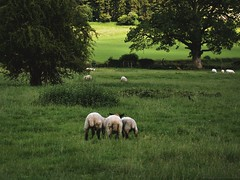 franch (↟ ↟ ↟) Tags: hambleden sheep animals pasture countryside england homestead domesticanimal rustic rural simplelife slowliving