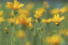 Glorious (charhedman) Tags: yellow watertonpark alberta fieldofwildflowers glorious happiness macro bokeh flickrcation