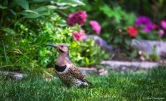 Backyard Visitor (hey its k) Tags: 2018 backyard birds nature northernflicker hamilton ontario canada ca img2943e canon6d tamron 150600mm