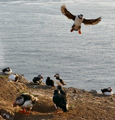 Flying puffin at the Wick (Paula Richards) Tags: skomer wales puffin panasonicfz1000 bird