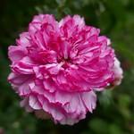 Au jardin, roses anciennes du château de Viven, Bosdarros, Béarn, Pyrénées Atlantiques, Aquitaine, France. thumbnail