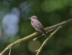 Spotted Flycatcher-1302 (seandarcy2) Tags: birds wildlife uk herts flycatcher spotted woodland