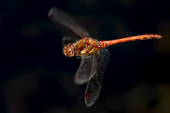 Male Common Darter (Sympetrum striolatum) (DerekL1) Tags: nortonbog commondarter sympetrumstriolatum pool staffordshire staffordshirewildlifetrust uk dragonfly inflight odonata
