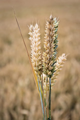 Ears of wheat (Jez22) Tags: wheat cereal crop food agriculture farming ripe golden summer season ears july isolated harvest closeup grain grass kent rural england background nature copyright jeremysage