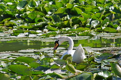 1489-01L (Lozarithm) Tags: caenhill devizes wilts swans k5 pentax sigma zoom 70300 sigmaaf70300mmf456apodgmacro blip justpentax