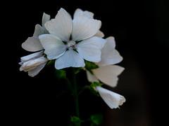 P7153663-Edit (NorthernJoe) Tags: garden yorkshire england britain uk outdoor nature summer leeds flower olympus 60mm macro em1 omd