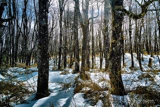 Lengas y Ñirres invernales - Antillanca (Norpatagonia - Chile)
