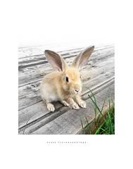 Bortolo... (Fiorenzo Delegà) Tags: rabbit coniglio rosso red tortora beige