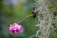 Ruby hummingbird perched on rose orchid stem (jungle mama) Tags: hummingbird orchid purple iridescent bird branch spanishmoss fairchildtropicalbotanicgarden fairchildgarden wingsofthetropics susanfordcollins gorget shuttleflight dive hummingbirdnest coth5