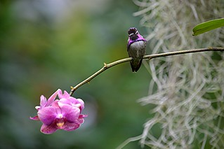 Ruby hummingbird perched on rose orchid stem