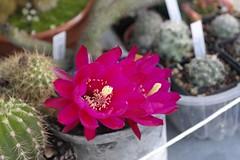 Trichocereus Sieben Zwerge (AstorX) Tags: cactus trichocereus