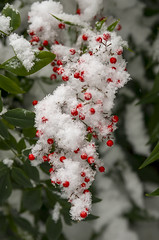 Snow Berries (s.d.sea) Tags: snow berry berries red christmas winter holiday outdoors garden flake snowflakes white green pnw pacificnorthwest washington washingtonstate issaquah klahanie pentax k5iis 2470mm