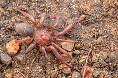 Armored trapdoor spider (Ctenolophus sp.) - DSC_2531 (nickybay) Tags: mozambique gorongosa bugshot macro sofala chitengocamp mygalomorphae idiopidae idiopinae ctenolophus armored trapdoor spider male