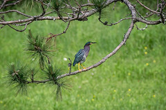 Green Heron (Jenna.Lynn.Photography) Tags: tree whitepine pinetree pine pinecone bird grass forest green greenheron heron wings feathers colors colours eyes beak needles fishing canon tamron zoomlens zoom birdwatching birding perched birdlover birdlovers wildlife nature naturelover naturephotography wildlifephotography natur eos country rural landscape