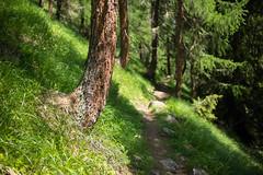 trail (Toni_V) Tags: m2408098 rangefinder digitalrangefinder messsucher leicam leica mp typ240 type240 35lux 35mmf14asphfle summiluxm hiking wanderung randonnée escursione wanderweg trail sentiero brigbelalpeggabrig wallis oberwallis valais alps alpen dof bokeh tree switzerland schweiz suisse svizzera svizra europe green ©toniv 2018 180616