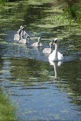 DSC00703 (The Unofficial Photographer (CFB)) Tags: deardiaryjune2018 featheredfriends bushypark royalparks heron ron londonparks
