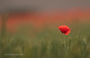 The One (Malcolm Bull) Tags: 20180615poppies0050edited1web poppy field wheat include