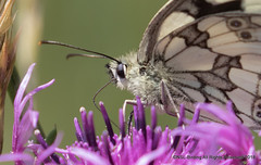 Marbled White (snapp3r) Tags: butterfly marbledwhite tuckingmill