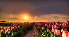 Sunset over fields of Dutch speaking tulips. (Alex-de-Haas) Tags: 11mm adobe blackstone d850 dutch hdr holland irix irix11mm irixblackstone lightroom nederland nederlands netherlands nikon nikond850 noordholland photomatix beautiful beauty bloem bloemen bloementeelt bloemenvelden cirrus floriculture flower flowerfields flowers landscape landschaft landschap lente lucht mooi polder skies sky spring sun sundown sunset tulip tulips tulp tulpen zonsondergang