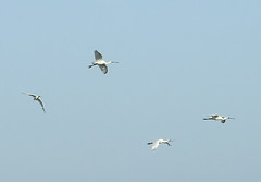 Four Eurasian Spoonbills flying past the Isle of Wight. (dugwin2) Tags: four eurasian spoonbills flying past isle wight by pennington marshes hampshire