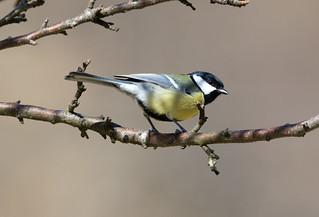 Great Tit at Stordalen S24A7849