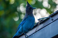 Steller's jay (Cyanocitta stelleri) (Carandoom) Tags: stellers jay cyanocitta stelleri 2018 usa america california tahoe city bird blue wild life wildlife sony rx10 m4