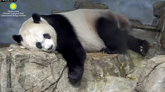 2018_06-21g (gkoo19681) Tags: meixiang beautifulmama sopretty proudmama adorableears feetsies naptime resting peaceful comfy angelic toocute adorable perfection darling precious majestic dreaming hopeful ccncby nationalzoo