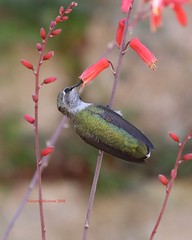 Anna's hummingbird sipping succulent nectar (Victoria Morrow) Tags: dailyrayofhope droh