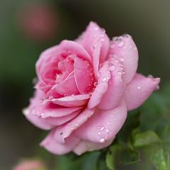 Raindrops (Martin Bärtges) Tags: rose drops raindrops water colorful farbenfroh rosenblüte blüte blossoms nikon macro macrophotography makrofotografie makro spring frühling frühjahr