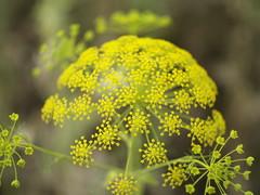 Eneldo en flor (rafa el del sombrero) Tags: helios44m4 olympuse500 m42 flor l