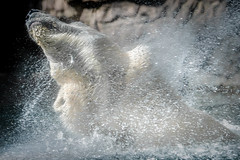 "Bear Bliss  (""Artsy"" Challenge #4/5) (helenehoffman) Tags: arctic mammal bear wildlife conservationstatusvulnerable sandiegozoo artsychallenge fish ursusmaritimus ursidae tatqiq polarbear polarbearplunge marinemammal animal"
