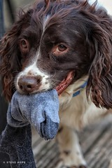 Billy (SteveH1972) Tags: canon70200 70200 canon70200usml28nonis nonis canon canon700d 700d dog dogs portrait play playing sock springerspaniels springerspaniel spaniel pet animal outside outdoor outdoors 2018 face cute billy