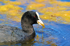 One of my five a day (stellagrimsdale) Tags: connaughtwaters coot eating birdeating yellow blue pond weed blanketweed beak redeye wildlife birdphotography bird waterfowl swimming