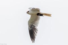 White Tailed Kite 3/3 (Linda Martin Photography) Tags: california eureka wildlife nature bird arcatamarsh elanusleucurus us usa whitetailedkite coth alittlebeauty coth5 naturethroughthelens ngc