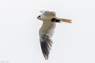 White Tailed Kite 3/3