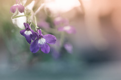 Sony a7 50mm 2.8 macro (Jasrmcf) Tags: ilce7 sel50m28 sony sony50mm sonyimages sonymacro 50mm28macro smooth blur dof detail depthoffield garden nature beautiful dreamy ng greatphotographers colourartaward colourful 50mm flowers flower petals pastels
