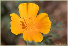 Survivor 1253 (maguire33@verizon.net) Tags: california californiapoppy eschscholtziacalifornica orange poppy wildflower
