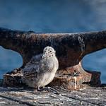 Bollard Baby Gull thumbnail