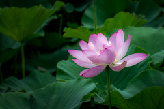 lotus (kderricotte) Tags: lotus summer flower bloom sony sonya7ii canon200mmf28lii ilce7m2 plant leaf outdoor garden