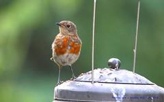 I'm the Changing Man (Bird)........... (law_keven) Tags: robins robin fledglingrobin catford london england avian photography wildlife wildlifephotography