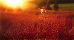 feel the burn (Simon[L]) Tags: heat heatwave hot burning sun alone weed flare single one canon50mmf18ltm red