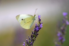 Portrait of a Cabbage White (Pieris rapae) on Lavender (Douglas Heusser Photography) Tags: jersey new no cove palmyra photo heusser beauty wildlife nature lens 100mm photography macro canon lepidoptera lepidoptery arthropod insect butterfly white cabbage rapae pieris